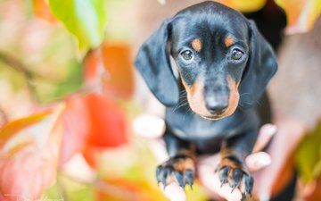 leaves, look, dog, puppy, dachshund, davide lopresti