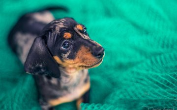 look, dog, mesh, puppy, fabric, dachshund, davide lopresti