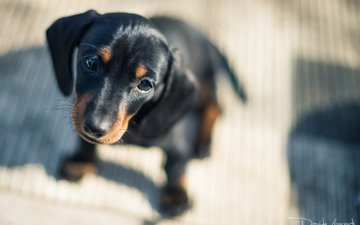 muzzle, look, dog, puppy, dachshund, davide lopresti