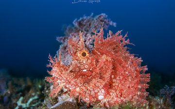 the ocean, underwater world, ambon scorpion fish