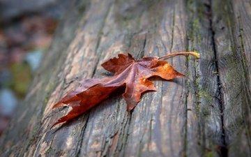 макро, осень, лист, кленовый лист