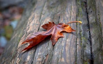 macro, autumn, sheet, maple leaf