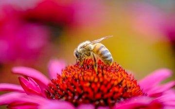 насекомое, цветок, пчела, пыльца, эхинацея