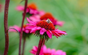 flowers, insect, flower, petals, stems, bee, pollen, echinacea