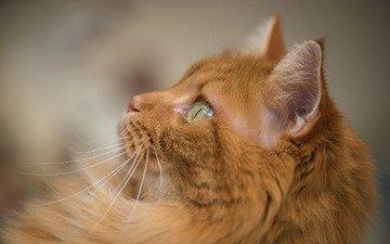 глаза, фон, кот, мордочка, усы, кошка, взгляд, рыжий кот