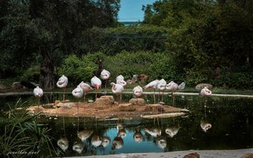 water, reflection, flamingo, birds