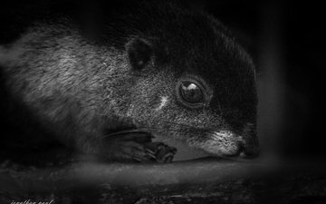 eyes, look, black and white, animal, protein, rodent