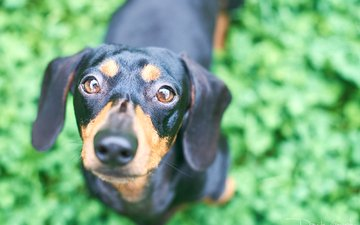 eyes, grass, muzzle, look, dog, puppy, dachshund, davide lopresti