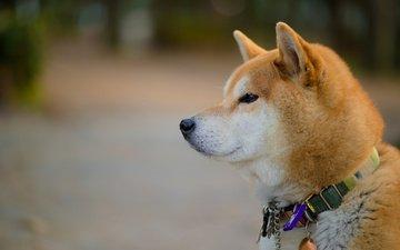 мордочка, взгляд, собака, ошейник, акита-ину, акита