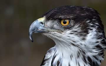 eyes, animals, look, eagle, birds, beak, feathers