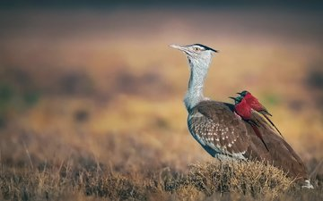 birds, beak, feathers, schurka, bustard