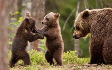 деревья, лес, животные, медвед, медведица, медвежата