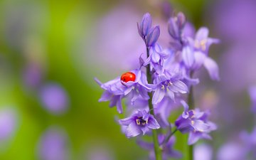 flowers, nature, macro, insect, ladybug, bells, bokeh