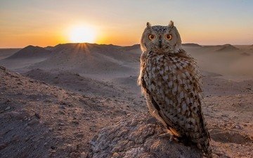 the sky, owl, the sun, sunset, animals, bird, the sun's rays, yellow eyes