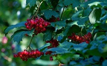 природа, листья, лето, ягоды, плоды, калина