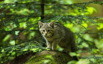 лес, мордочка, усы, кошка, взгляд, котенок, камень, ель, охотник