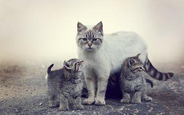 животные, мордочка, усы, кошка, взгляд, котенок, кошки, семья, котята