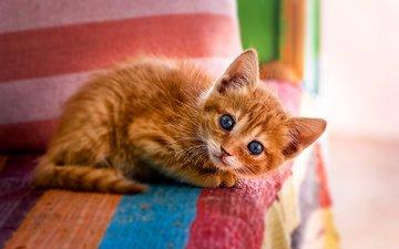мордочка, усы, кошка, взгляд, котенок, голубые глаза