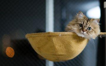 кот, мордочка, усы, кошка, взгляд, дом, лежа, benjamin torode, ben torode, дейзи