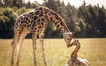 трава, деревья, жираф, жирафы, детеныш