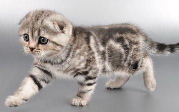кот, мордочка, усы, кошка, взгляд, котенок, шотландская вислоухая