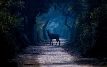 road, trees, forest, deer, fog, the way, wildlife, jivotnoe