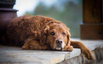 мордочка, грусть, взгляд, собака, рыжая