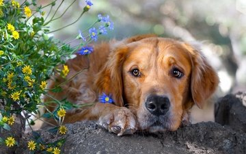 face, flowers, grass, sadness, dog, stone, golden retriever