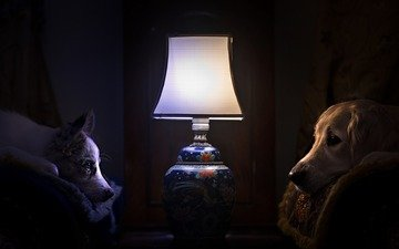 chair, lie, dogs, golden retriever, the border collie, table lamp