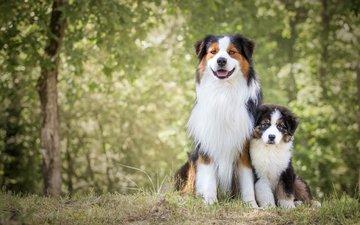 природа, мордочка, взгляд, собака, щенок, собаки, австралийская овчарка