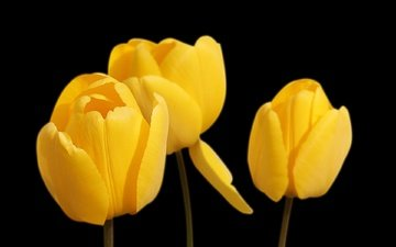 flowers, black background, tulips, yellow