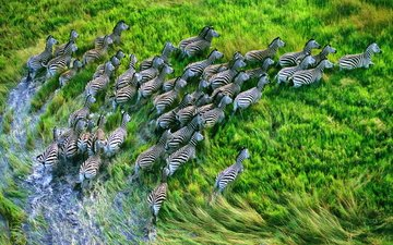 grass, the view from the top, running, the herd, zebra