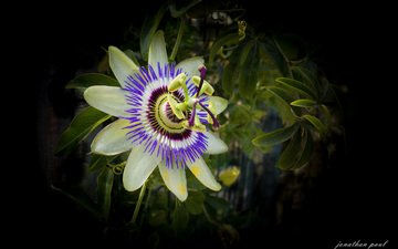 flower, black background, passionflower