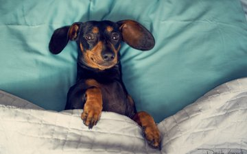 eyes, muzzle, look, dog, dachshund, davide lopresti