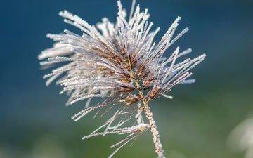 природа, хвоя, макро, иней, растение