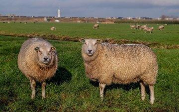 трава, пастбище, овцы, стадо, овца