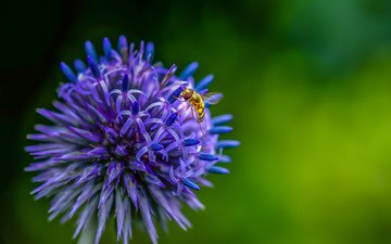насекомое, цветок, муха, декоративный лук