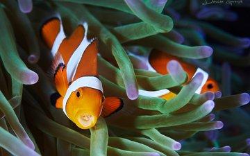 рыбы, океан, подводный мир, рыба-клоун, актиния, davide lopresti