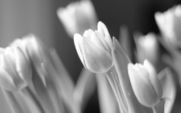 light, flowers, black and white, tulips, flora
