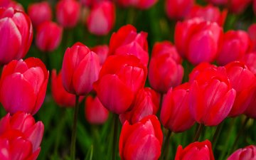 flowers, buds, spring, tulips