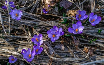 flowers, nature, macro, spring, crocuses, jazzmatica
