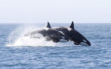 вода, брызги, кит, косатка