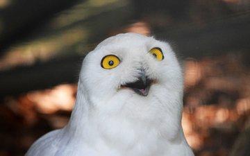 owl, bird, polar, snowy owl, white owl