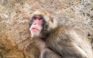 морда, взгляд, обезьяна, макака, японская макака, японский макак, lynn griffiths