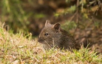 трава, природа, мышь, животное, мышка
