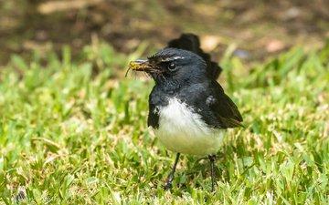природа, птица, клюв, перья, lynn griffiths, трясогузка, willie wagtail