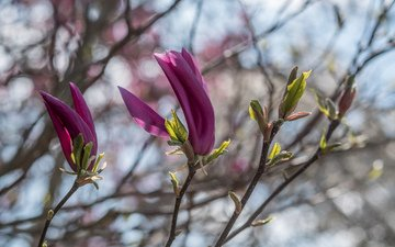 flowering, branches, spring, magnolia