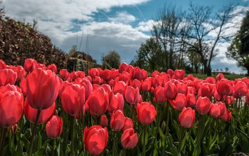 the sky, flowers, clouds, trees, spring, tulips, тюльпаныl