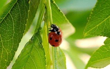 листья, жук, насекомое, лето, божья коровка