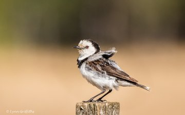 природа, птица, клюв, пенек, lynn griffiths